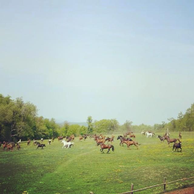 herd running